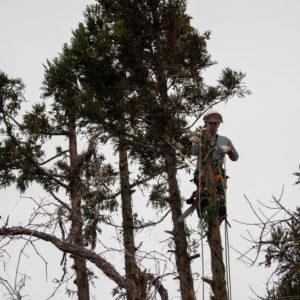 ご自宅の庭木伐採3